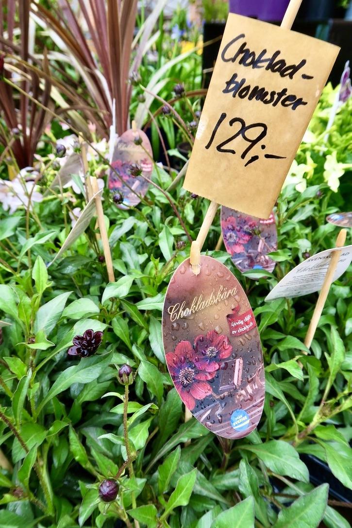 Steninge trädgårdsmästeriet. Hittade bland alla blommor en chokladskära so också fick följa med hem till vår söderbalkong.
