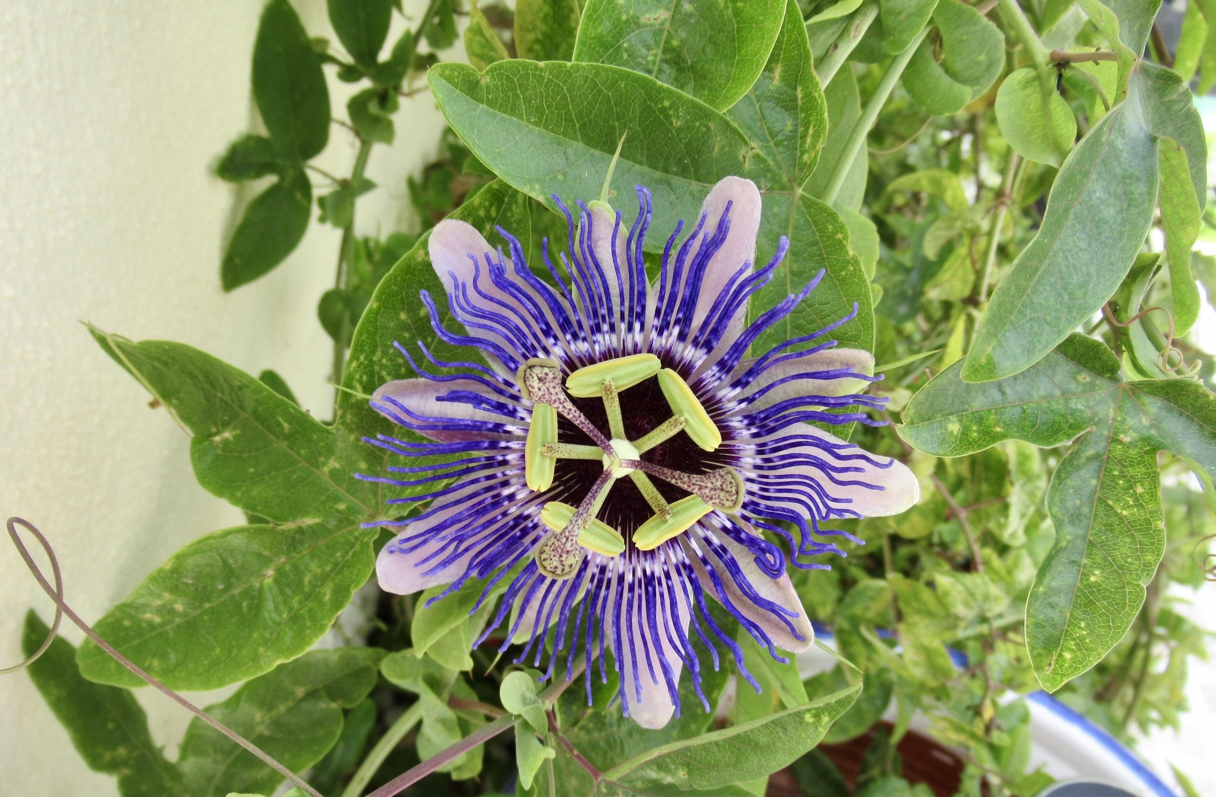 Sommarkänsla även i Torrevieja. Passionsblomman är på gång med blomninngen.