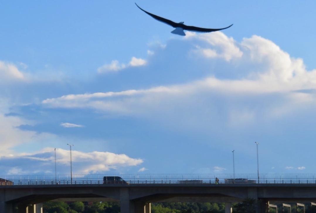 Södermalm. Skanstullsbron. En trut livar upp himlen