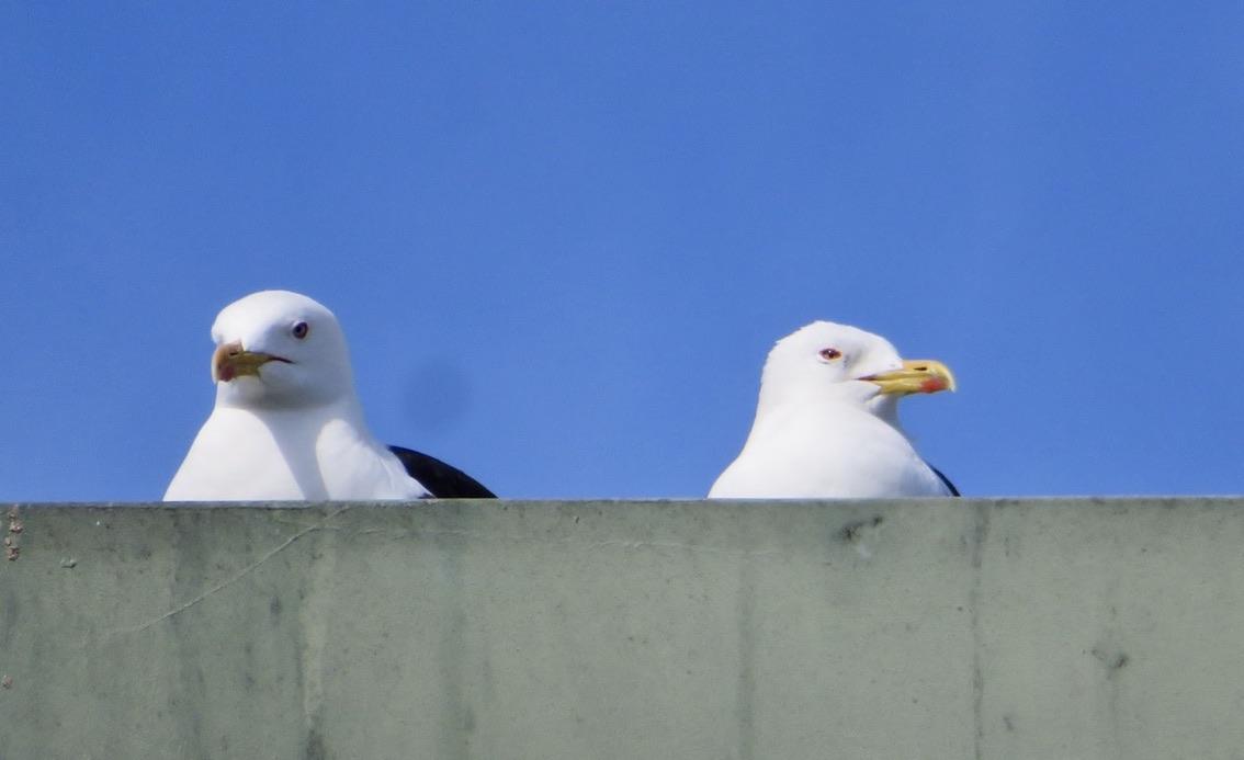 Södermalm. Himlen är oskyldigt blå. Men oskyldiga är inte trutarna som boar på taket. Tvärt om. Tämligen aggressiva.