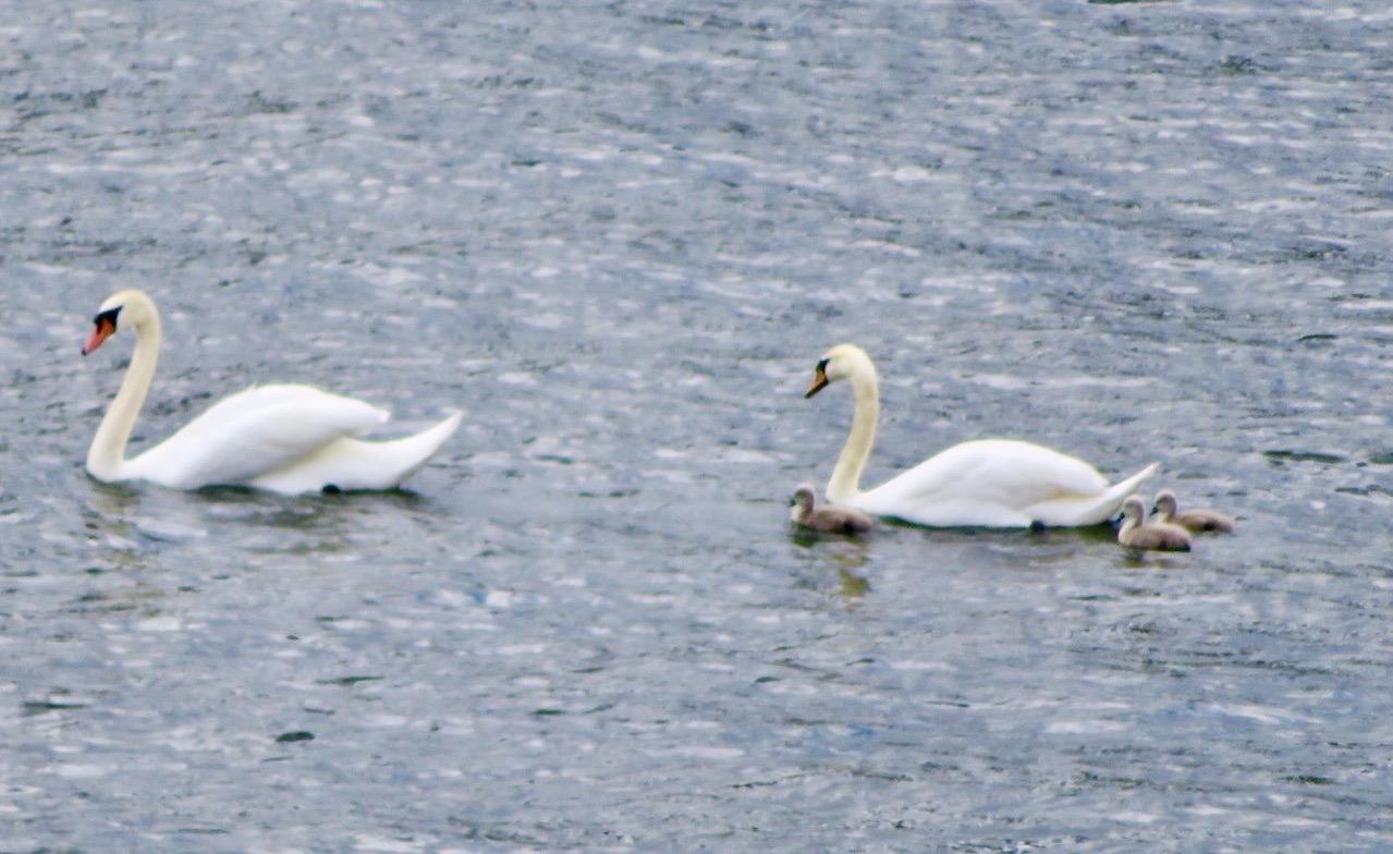 Hammarbykanalen. En svanfamilj i blickfånget.
