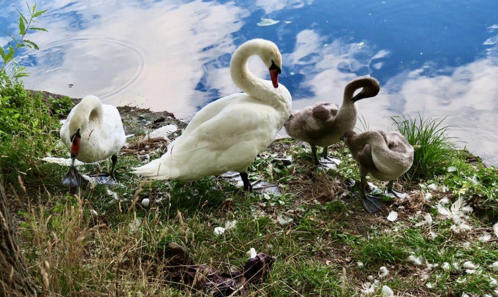 Stockholm. Årstaviken. Sensommar och svanfamiljen putsar sig. Ungarna har verkligen blivit stora.