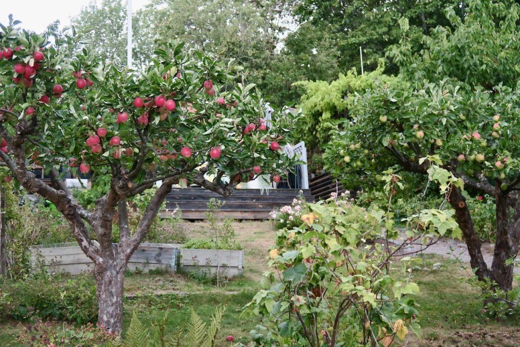 Stockholm. Södermalm. Eriksdalslundens koloniträdgård. Sensommar och gott om äpplen och päron på träden.