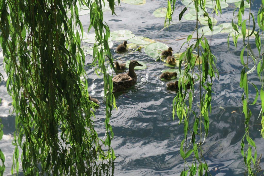 Stockholm. Södermalm. Längs Mälarens vatten. Årstaviken, såg vi mamma And med en ny kull ungar.