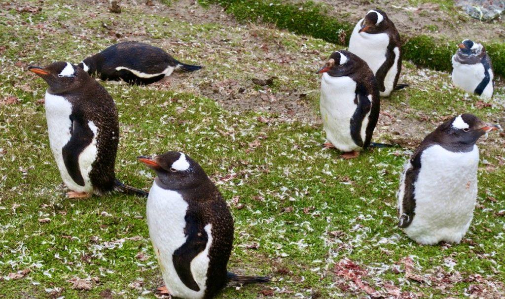 Falklandsöarna. Åsnepingviner/gen too pingviner. För deras ägg och små ungar kan labb ibland vara en fara.