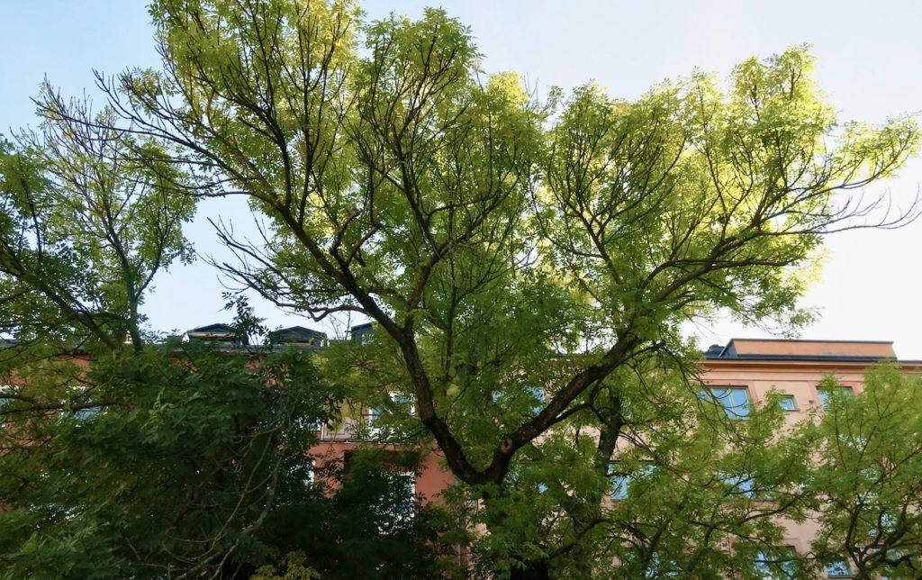 Stockholm. Södermalm. Mariaberget och Ivar Lo Johanssons park. Här fanns den stora ask, trädet, som jag letade efter