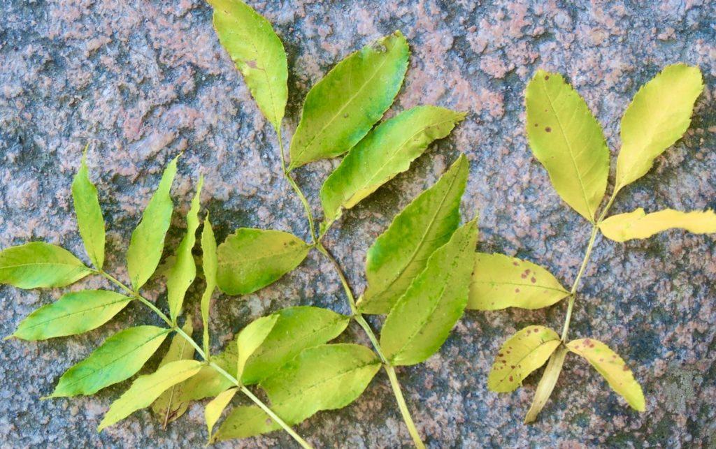Ask. Löven är parbladiga med sågad kant och kan påminna om rönnens.