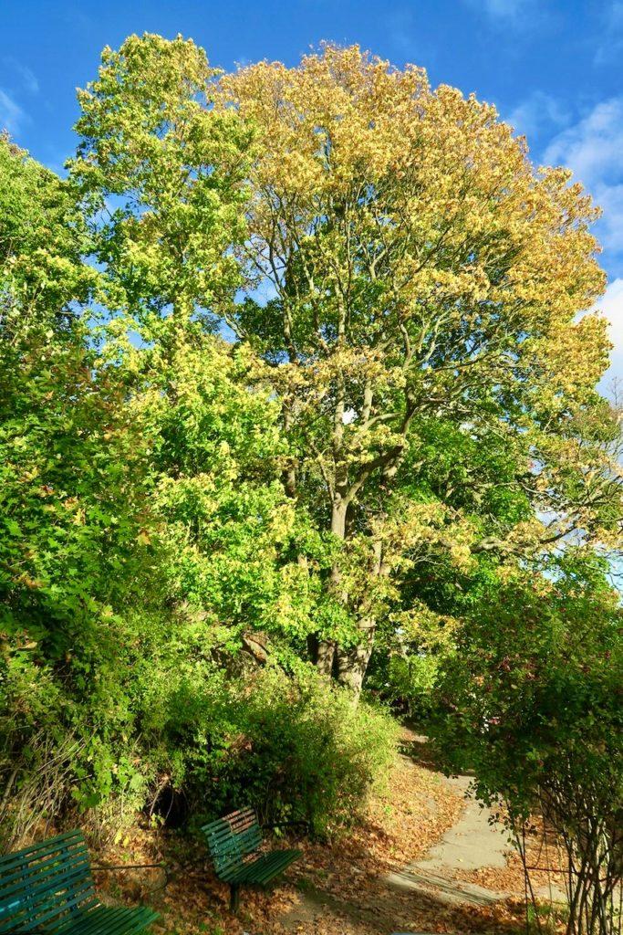 Stockholm. Södermalm. Årstaviken. Tydliga kontraster är synliga på träden. En del träd är nästan gula och andra fortfarande gröna