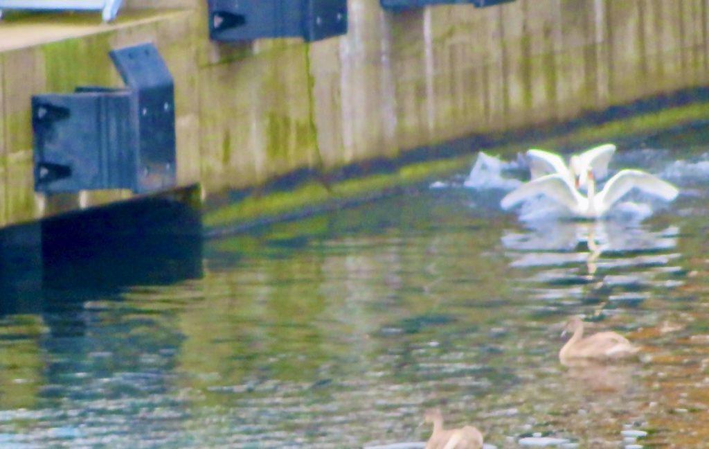 Stockholm. Södermalm. Hammarbykanalen, Hammarbyslussen. Ett slgsmål mellan två svanar.