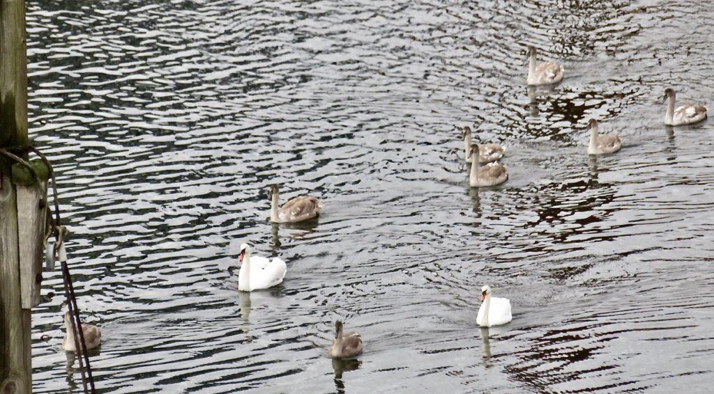 Stockholm.Södermalm, Hammarbykanalen. Genom fönstren ser jag att den inkräktande svanfamiljen ger sig av.