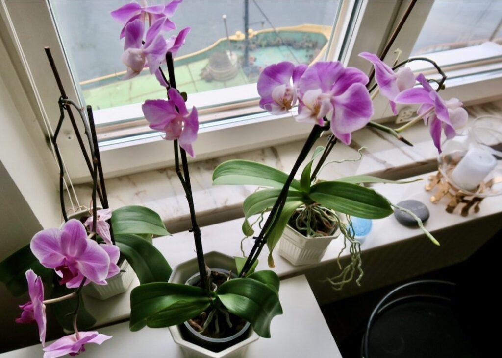Södermalm. Höjd och ljuspunkter hemma. Blommande orkideer.