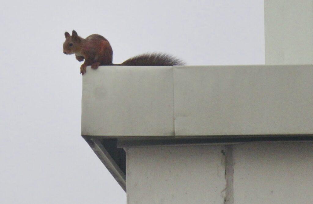 Södermalm. Norra Hammarbyhamnen. Jag ser ekorren på taket och tar fram kameran i hopp om att få till en bild.