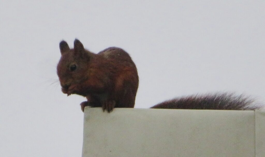 Stockholm. Södermalm. Norra Hammarbykajen. Än mer zoom för att fånga ekorren. Men sedan tog den sig vidare med ett hopp.