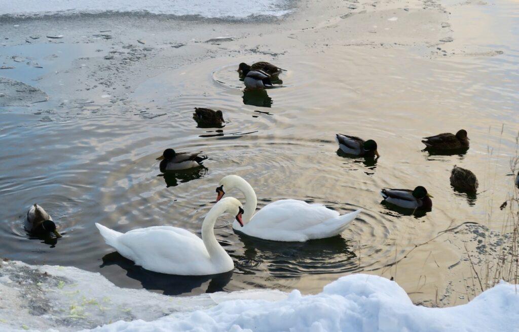 Stockholm. Södermalm. Årstaviken. Sjöfåglarna har hittat lite öppet vatten bland is och snö.