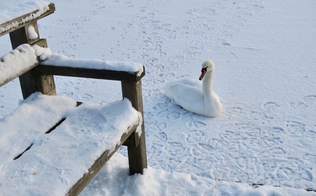 Stockholm. Södermalm. Årstaviken. Svenen var kvar här på sin plats bland is och snö.