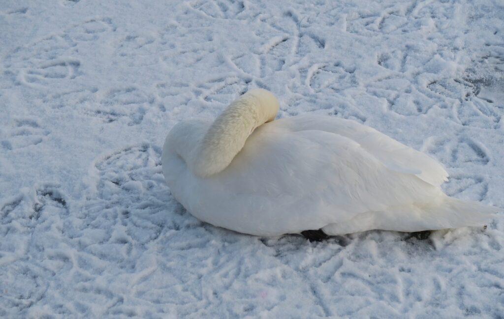 Stockholm. Södermalm. Årstaviken. Svårt att veta om svanen satt fast i is och snö eller om den vilade.