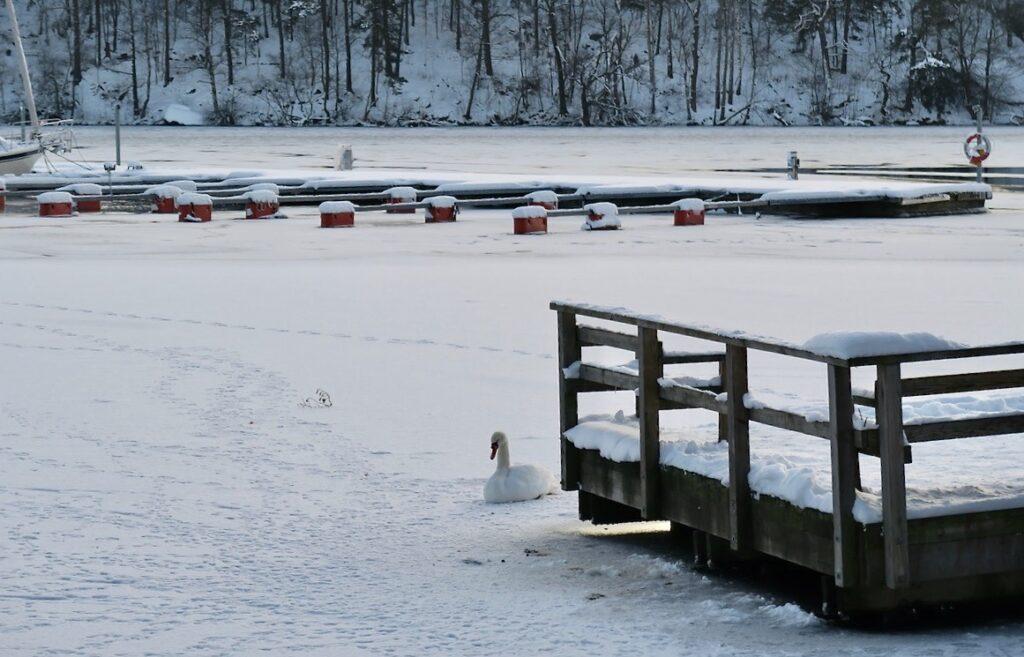 Stockholm. Södermalm. Årstaviken. Is och snö och -8 grader. En svan ligger här och vi vet inte om den är fastfrusen.
