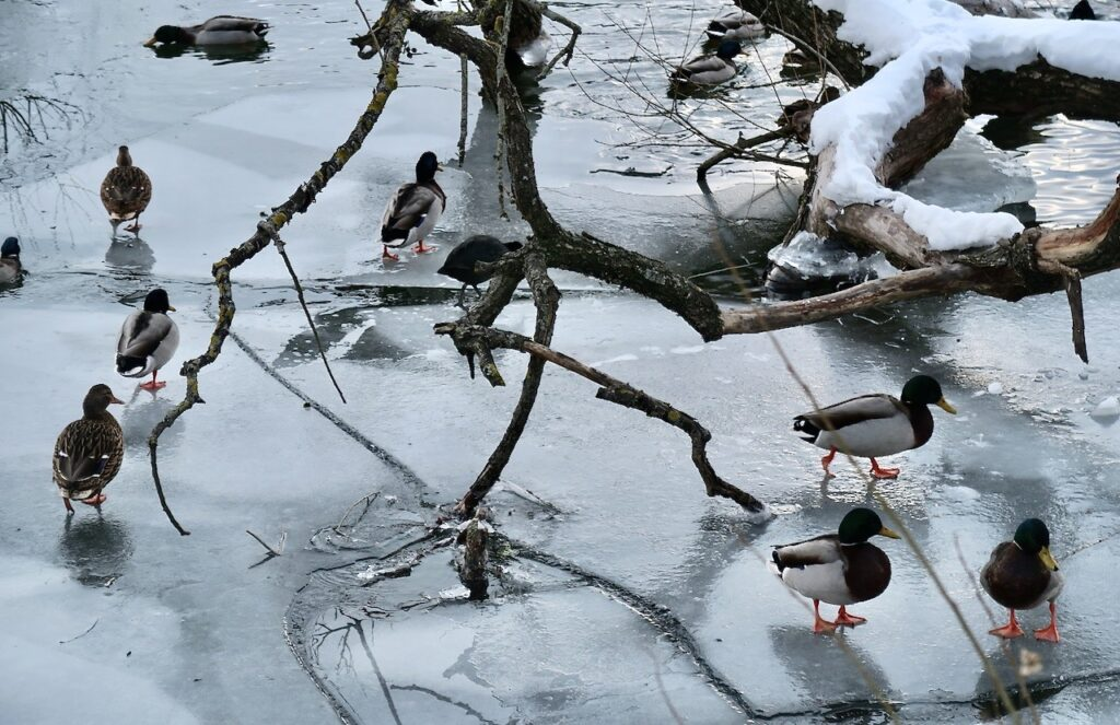 Stockholm. Södermalm. Årstaviken. Noterade att herrarna gräsands olika nyanser av färg dels lyste upp och dels passade fint in på isens grå färg.