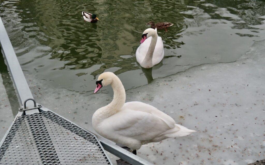 Stockholm. Kungsholmen . Nästan isfritt i Karlbergssjön och kanske även sjöfåglarna anade viss vårkänsla.
