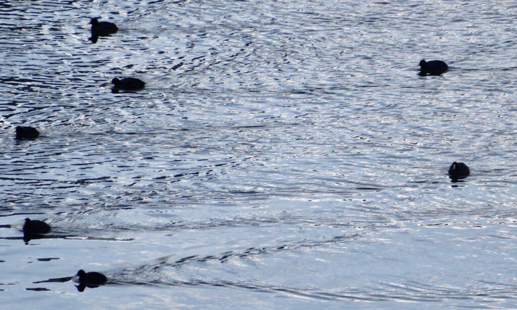 Stockholm. Södermalm. Här hemma spg jag att sothönsen kom simmandes genom Hammarbyslussen.