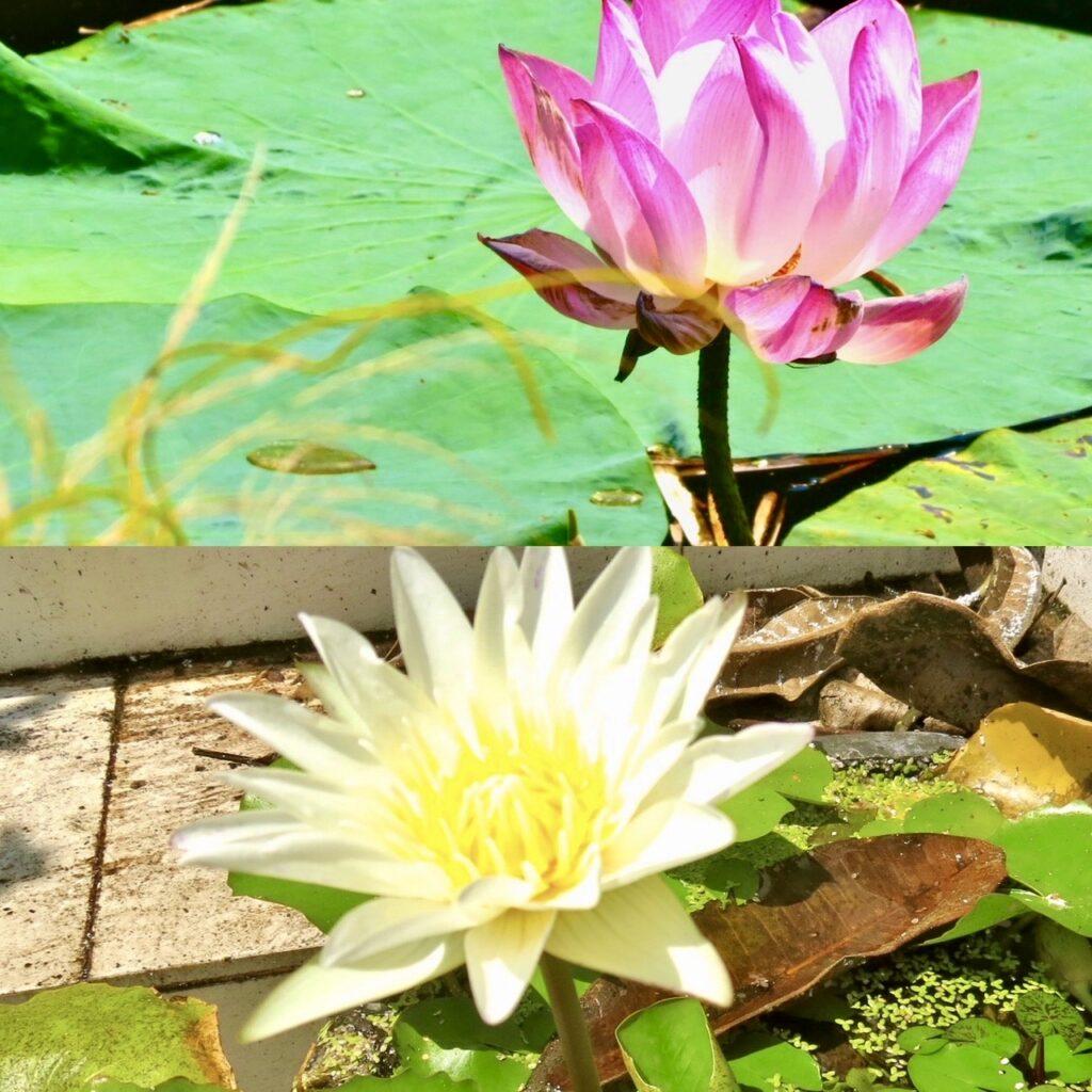 Thailand. Lotusblommor. Detta är en blomma som står för perfektion.