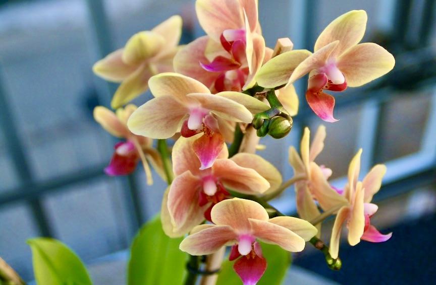 En orkidé är en ört och ingen blomma.