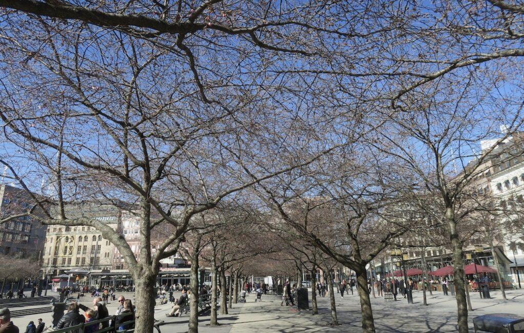 Stockholm. Kungsträdgården. I början av allén söderifrån såg vi inte alls till några körsbärsblommor.
