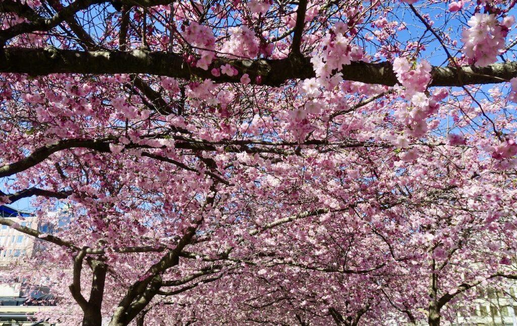 Stockholm. Kungsträdgården. Körsbärsblomning. Och sticka ut gör både blommor och grenar på olika sätt.