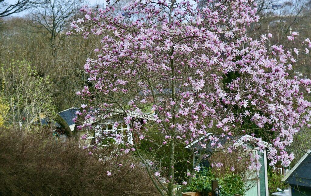 Stockholm. Södermalm. Eriksdalslunden sista söndagen i april. Magnolia i blom och skir grönska.