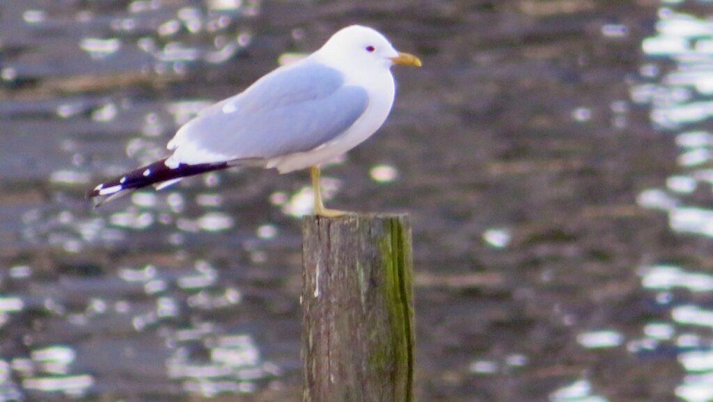 Stockholm. Södermalm. Norra Hammarbyjamnen.Även sjöfåglarna har en omväxlande tillvaro här längs Hammarbykanalen