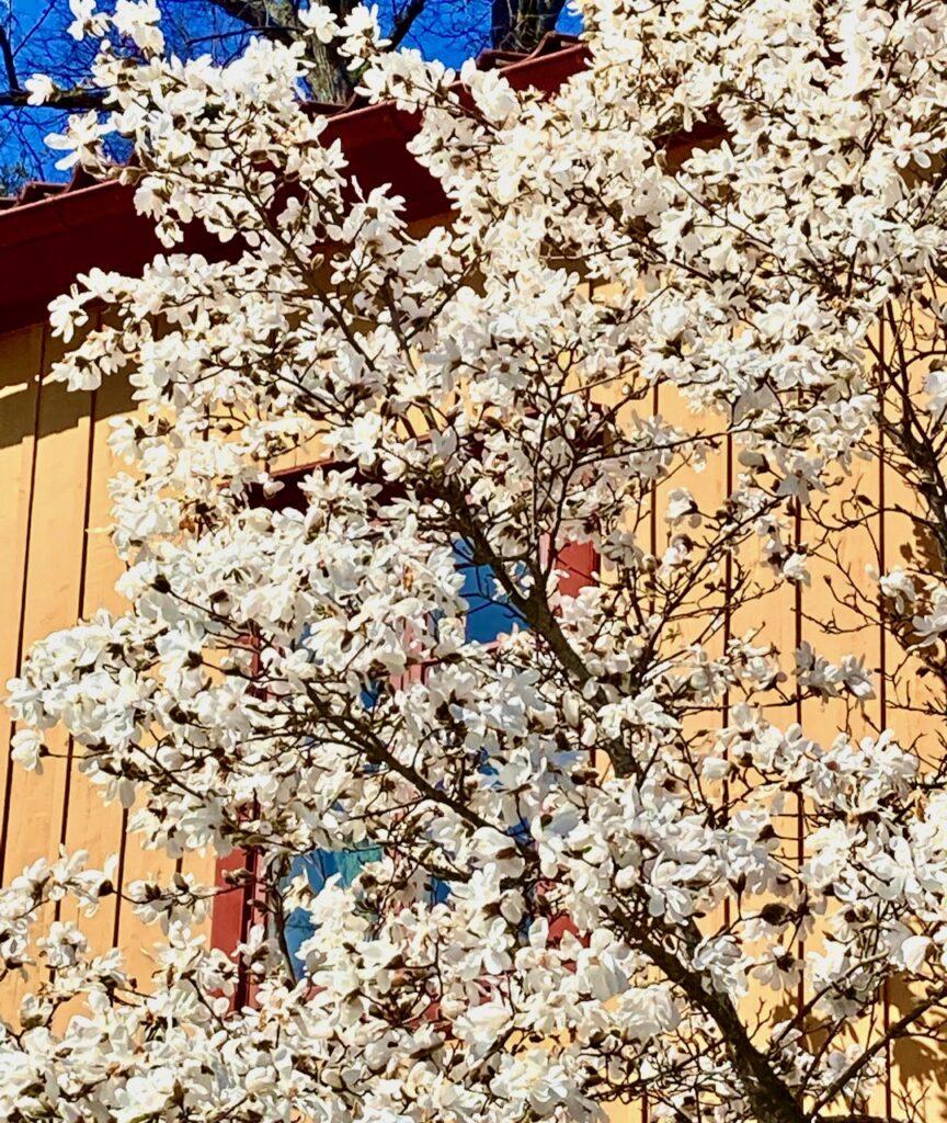 Djurgården. Att promenera här är verkligen omväxlande. Inte minst naturen.Här i magnoliaträd i full blom.