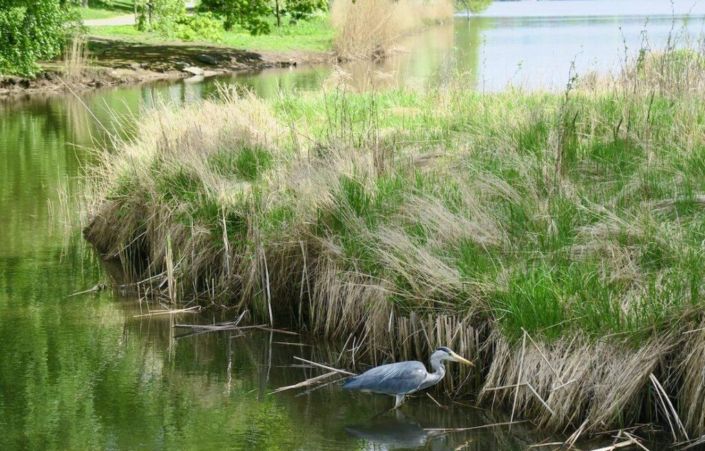 Här längs Hagaparkens strandlinje trivs också sjöfåglarna. Här en gråhäger som letar mat.