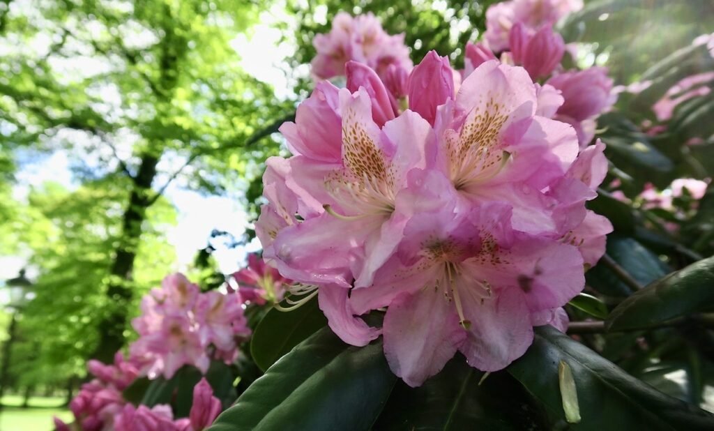 Stockholm. Humlegården. Hlet ljuvliga, nyutslagna rhododendron.