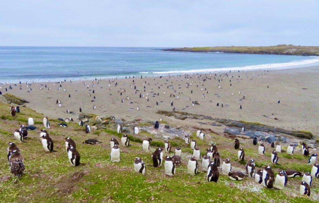 Falklandsöarna. Pingviner som gör sig redo för att dyka ner i vattnet.