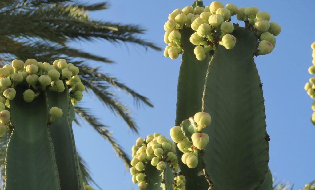 Torrevieja. Spanien. PÅ vår kvällsoromenad ser vi flera ståtliga kaktusar som sträcker sig över staketen och liksom vill hälsa.