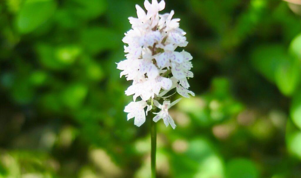 Höga kusten. Skeppsmaln. Att se denna orkidé, jungfru Mariies nycklar var en annan av dagens höjdpunkter .