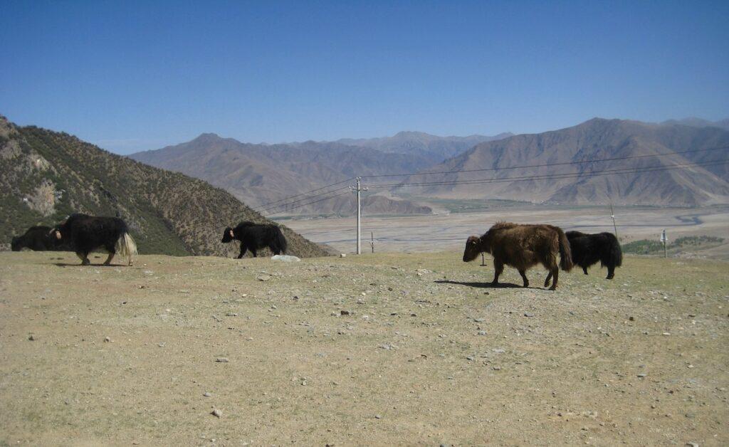 Tibet. Ganden kloster. I detta torra landskap lever jaken och äter det lilla gröna de kan hitta.