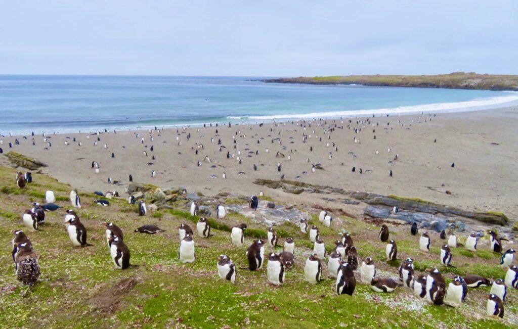 Falklandsöarna. Pingviner vars ungar kan vara attraktiva som föda för sjöfåglar